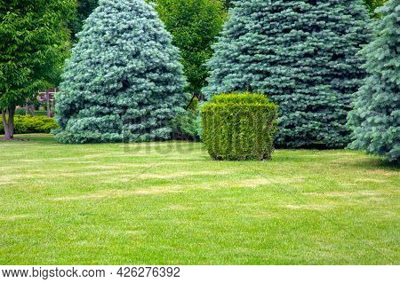 Evergreen Coniferous Trees On A Lawn With A Grass And A Trimmed Square Bush In A Park, Summer Green