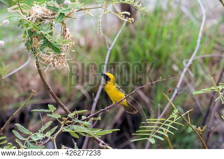 Asian Golden Weaver (sparrow Bird) Perched On A Branch With Nest ,grasses For Nesting In The Mouth.i
