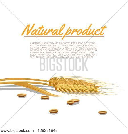 Wheat Ear With Cereals And Natural Product Text Poster Vector Illustration