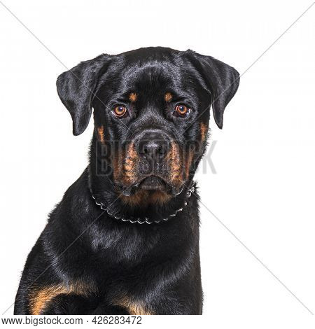 Head shot of a Rottweiler looking at the camera, isolated on white