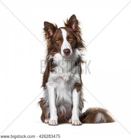 Sitting Brown and white Border collie staring at the camera, isolated on white