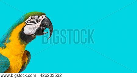 Head shot of a Blue and yellow macaw,  beak open, side view. On blue background