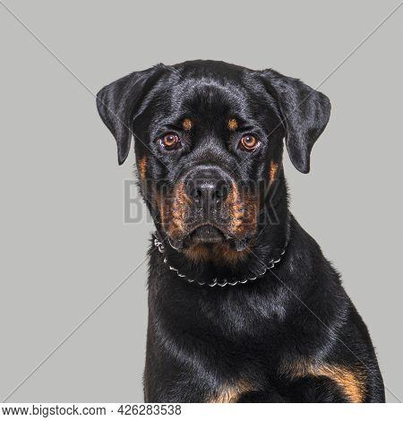 Head shot of a Rottweiler staring at camera on a grey backgrounda