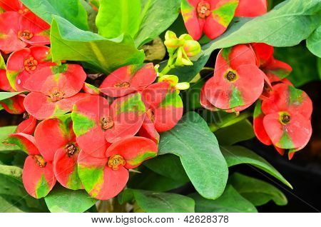 Red Poi Sian Flowers Blooming
