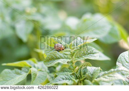 Reproduction Of Colorado Potato Beetles In Potato Leaves.colorado Beetle, Potato Parasite. Close-up