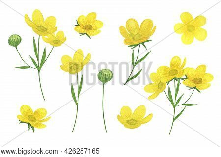 Yellow Buttercups, Wild Flowers Set Watercolor Illustration Summer Meadow, Forest Plants, Delicate F