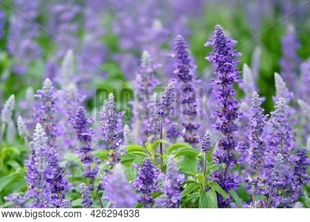 Closeup Of Gorgeous Lavender Flowers Blooming In The Field