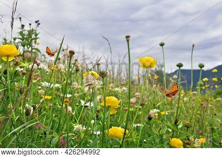 Yellow Flowers Of Wild Buttercup And Wildflowers On Meadow In Summer. Orange Butterfly With Black Do