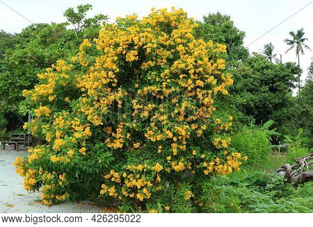 Amazing Flowering Tree Of Trumpetbush On The Roadside In Thailand
