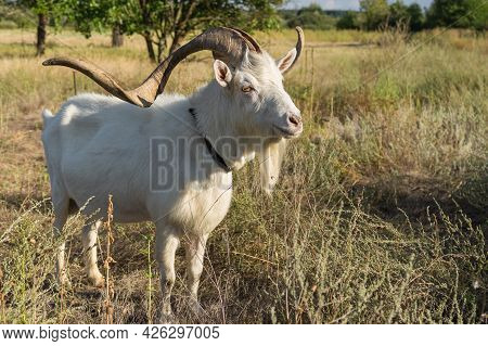 Full Body Portrait Of White Goat With Abnormally Enormous Horns Standing On A Summer Pasture In Cent