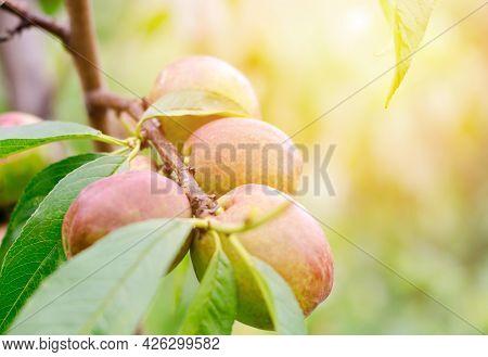 Nectarine On A Tree Branch In The Sun. Ripe Juicy Nectarine. Gardening Concept