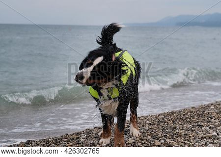 A Rescue Dog Stands On Pebble Beach And Shakes Off That Spray Is Flying In Different Directions. Ber