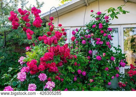Beautiful Red And Pink Blooming Rose Flower Bushes In Home Garden At Countryside At Summer. Nature D