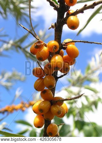 Cluster Of Ripe Yellow Sea-buckthorn On Tree Branch Blue Sky Background Close-up View