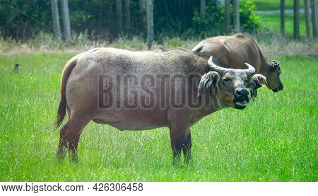 African Dwarf Forest Buffalo Grazing In The Nature