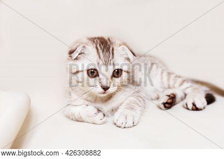 Scottish Strite Kitten Lies On The Beige Textile Background.