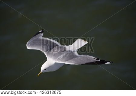Isolated Seagull Flying On The Waters Of The Baltic Sea