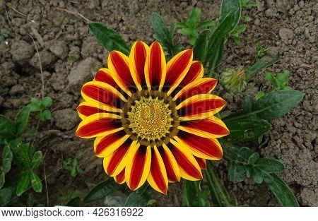 Res Striped Gazania Riggens, Treasure Flower, Top View