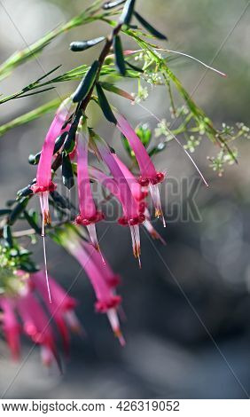 Backlit Tubular Bell Shaped Flowers Of The Australian Native Red Five Corners, Styphelia Tubiflora,