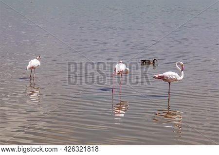 Pink Flamingos On The Lake. Graceful Birds On Long Legs, With Curved Necks, Stand In The Water. Refl