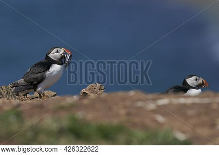 Atlantic Puffin (fratercula Arctica) With Small Fish In Its Beak To Feed Its Chick On The Cliffs Of