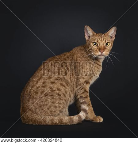 Handsome Young Adult Ocicat Cat, Sitting Side Ways, Showing Spots On Body And Rings On Tail. Looking