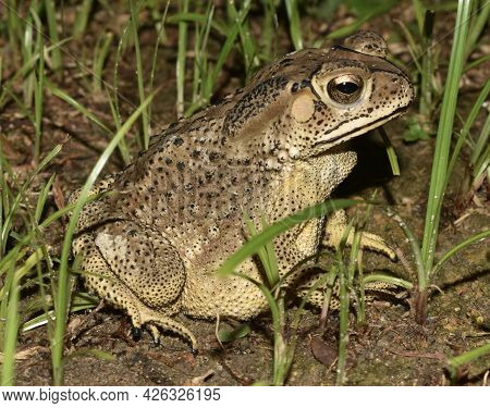 Close Up Of A Beautiful Brown Patterned Toad Sitting In Grass