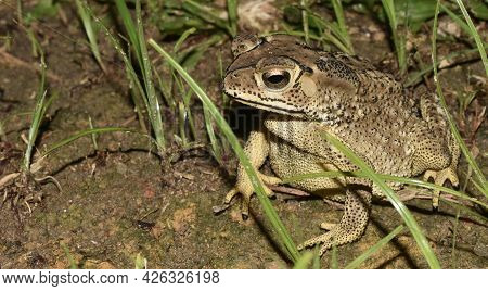 Close Up Of A Brown Toad Sitting In Grass