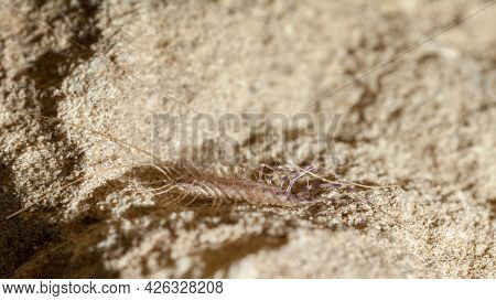 Macro Low Point Of View Of Scary Centipede (scutigera Coleoptrata) Hides In Stone.