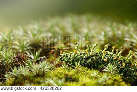 Macro Of Mossy Green Forest Floor With Cladonia Cup Lichen Colony