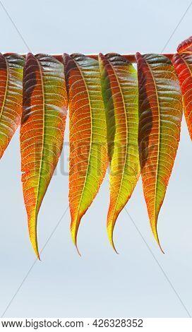 Macro Of Autumn Leaves In Row