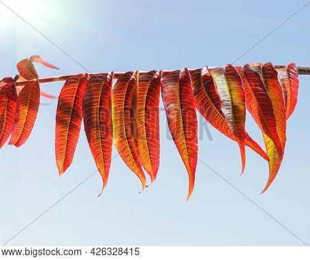 Vinegar Tree Red Leaves In Sunny Day