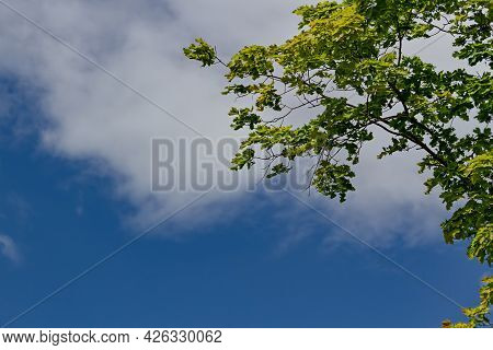 Maple Branches With Green Leaves On Blue Sky And Bright Sun Light Background, Summer Sunny Day Natur