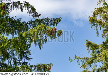 Green Branches Of Spruce With Cones On Blue Sky And Bright Sun Light Background, Summer Sunny Day Na