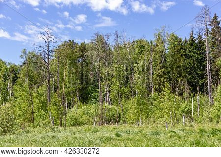 A Toned Image Of A Mixed Forest. A Forest Of Pine, Spruce, Oak And Birch Against A Summer Blue Sky.