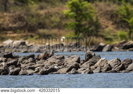 Smooth Coated Otter Or Lutrogale Perspicillata A Vulnerable Animal Species Of Mustelidae Family Pair