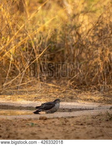 Eurasian Or Northern Sparrowhawk In Waterhole For Quenching Thirst During Safari Forest Of Central I