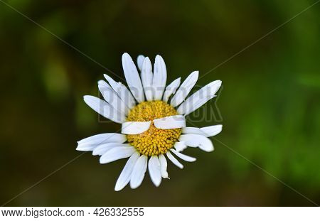 Close-up Of A Bright Wildflower With Curled Petals In The Form Of Applause