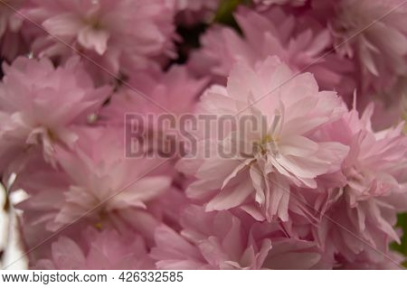 Close-up Of Small Pale Pink Blooming Sakura Flowers. Close-up, Sakura Flowers, Background, Pale Pink