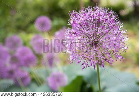 Close-up Pink Or Lilac Flower. Background, Texture. Allium