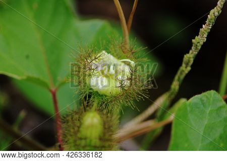 Close-up View Of The Pitcher Plant Flower. Insectivorous Plant.