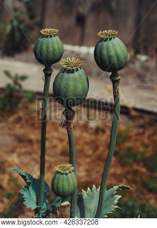 Papaver Somniferum, Commonly Known As The Opium Poppy Or Breadseed Poppy, Is A Species Of Flowering