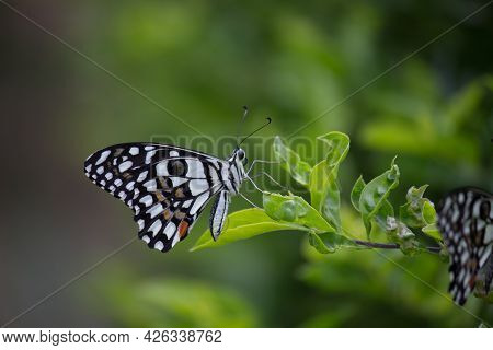 Papilio demoleus is a common and widespread swallowtail butterfly. The butterfly is also known as th