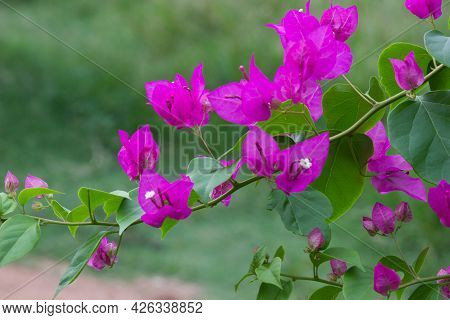 Bougainvillea Is A Genus Of Thorny Ornamental Vines, Bushes, And Trees Belonging To The  Four O' Clo