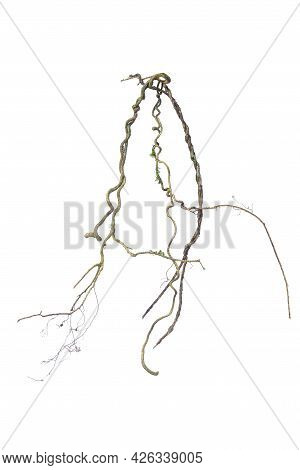 A Big Tree Root Overgrown With Green Moss, Isolated On White Background With Clipping Path Included.