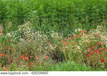 Beautiful Meadow Field With Chamomile Flowers, Poppies, Hemp. Nature, Wide Format, Copy Space.