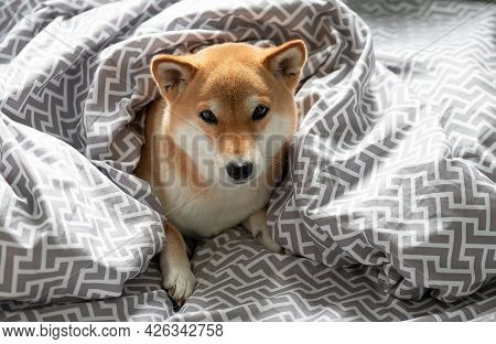 Fluffy Young Red Dog Shiba Inu Is Lying In The Owners Bed Covered With A Blanket. Top View