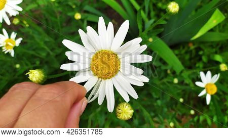 Chamomile. Divination For Love. A Female Hand Tears Off A Petal Of A White Chamomile.