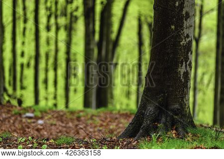 Spring Forest With Beech Trunks After The Rain