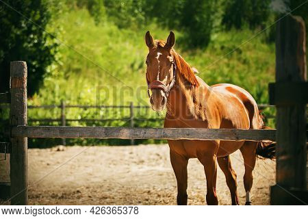 A Beautiful Unsaddled Sorrel Horse With A Halter On Its Muzzle Stands In A Paddock With A Wooden Fen